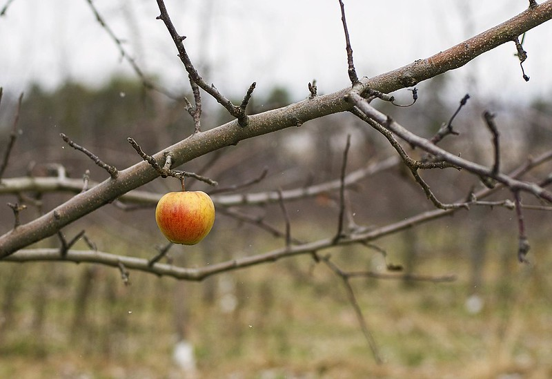 Apple alone on bare tree. Image by Rodger Evans